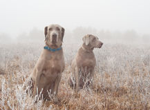 Two Weimaraner dogs in heavy fog Stock Image