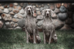 Two Weimaraner dogs Royalty Free Stock Photo