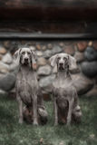Two Weimaraner dogs Royalty Free Stock Image