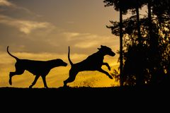 Two Weimaraner dogs in nature - back lit silhouettes stock photography