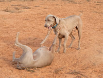 Two Weimaraner dogs playing Stock Photography