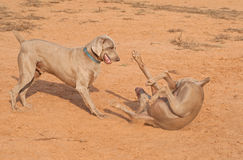Two Weimaraner dogs playing Royalty Free Stock Photos