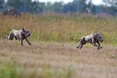 Two Weimaraner dogs run. In yellow field Stock Image