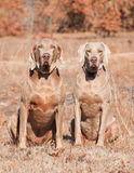 Two Weimaraner dogs sitting in grass Royalty Free Stock Image