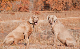 Two Weimaraner dogs sitting in grass Royalty Free Stock Photos