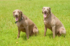 Two Weimaraner dogs sitting on green grass Royalty Free Stock Photo
