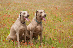 Two Weimaraner dogs in a spring meadow Stock Photography