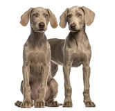 Two Weimaraner puppies, 2,5 months old, sitting and standing Stock Photo