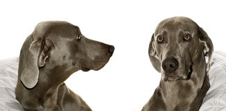 Two weimaraners Royalty Free Stock Photos