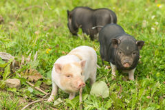 Two well-fed pig walk on the grass Royalty Free Stock Photography