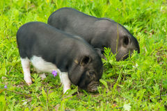 Two well-fed pig walk on the grass Royalty Free Stock Images
