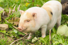Two well-fed pig walk on the grass Stock Photos