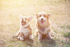 Two welsh corgi on grass. At sunset in summer time Royalty Free Stock Photography