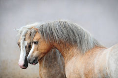 Two welsh ponies. Two beautiful welsh pony stallions royalty free stock photo