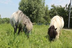 Two Welsh ponies eating grass. stock photography