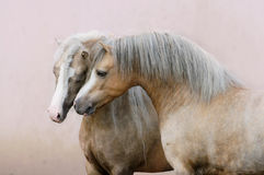 Two Welsh ponies in love Royalty Free Stock Photography