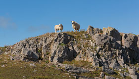 Two welsh sheep on the horizon on rocky hillside The Gower South Wales UK Stock Photography
