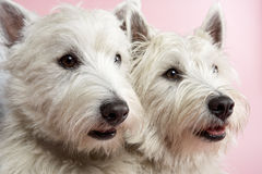 Two West Highland Terrier Dogs In Studio Royalty Free Stock Image