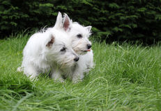 Two west highland terrier puppies. Landscape image of westie, west highland terrier puppies huddled on grass stock photography