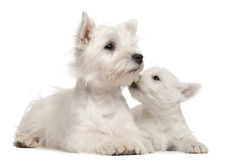 Two West Highland Terrier puppies, 4 months old. And 7 weeks old, in front of white background stock photography