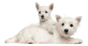 Two West Highland Terrier puppies, 4 months old. And 7 weeks old, in front of white background royalty free stock images