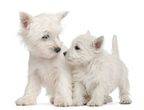 Two West Highland Terrier puppies, 7 weeks old. In front of white background royalty free stock photos