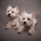 Two West Highland Terriers Royalty Free Stock Photo