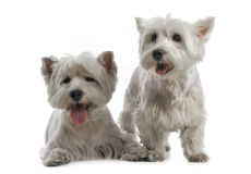 Two West Highland White Terrier are on the white studio floor. Two West Highland White Terrier are on white studio floor Royalty Free Stock Photography