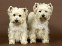 Two West Highland White terriers, 3 and half year Royalty Free Stock Images