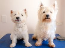Two west highland white terriers on dog grooming table, one is s. Ticking out tongue, other is scruffy with long fur Stock Images