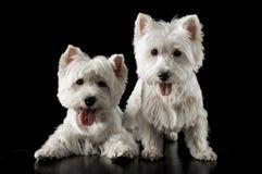 Two West Highlander Terrier in the dark studio. Two West Highlander Terrier in the dark photo studio Stock Photo