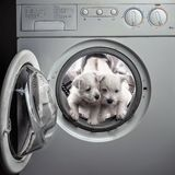 Two West hound Terrier puppies are washed with bleach in the washing machine. Two West hound Terrier puppies are washed with bleach and powder in the washing royalty free stock photo