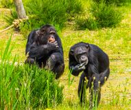Two western chimpanzees eating food together, critically endangered primate specie from Africa. Two western chimpanzees eating food together, a critically stock photography