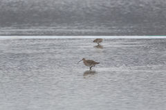 Two western curlews Numenius arquata during foraging in a lake Stock Photos