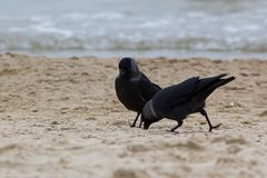 Two western jackdaws are looking for food on a sandy beach. stock photography