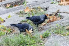 Two western jackdraws. Pair western jackdaws Corvus monedula in the Vilnius city center Stock Photography
