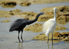 Two Western Reef Heron stock image