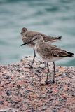 Two Western Sandpiper Birds at Gulf of Mexico. Two western sandpipers perched on a rock overlooking the Gulf of Mexico Royalty Free Stock Images