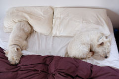 Two westie dogs sleeping on a messy bed Royalty Free Stock Photography