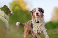 Two wet Australian Shepherd dogs outdoors Stock Image