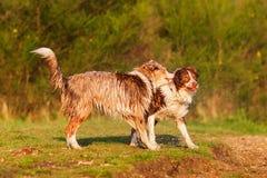 Two wet Australian Shepherd playing lakeside Royalty Free Stock Photography