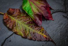 Two wet autumn leafs with of beautiful  color image fell Stock Photo