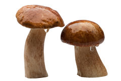 Two wet cepes Stock Image
