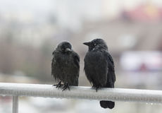 Two wet crows sitting on balcony rail. Three wet crows sit with drops of rain drippping from their feather sit next to each other on balcony rail and look in royalty free stock photos