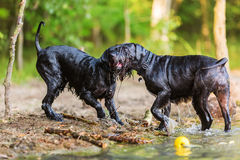 Two wet dogs at the border of a lake Royalty Free Stock Image