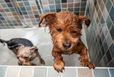 Two wet little cute and beautiful purebred Yorkshire Terrier dogs they`re trying to escape from the bathtub because they don`t wan. T to bathing selective focus stock image