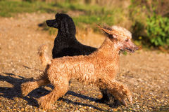 Two wet poodles having fun at the lake Royalty Free Stock Images