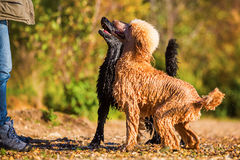 Two wet poodles waiting for a ball Royalty Free Stock Images