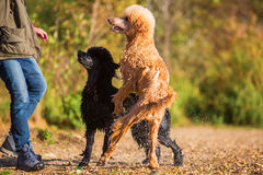 Two wet poodles waiting for a ball Stock Photo