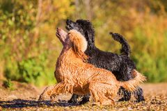 Two wet poodles waiting for a ball Royalty Free Stock Photography